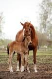 Śliczne brązowe źrebie i jego matka