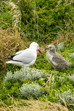 Gull And Chick Looking At Each...