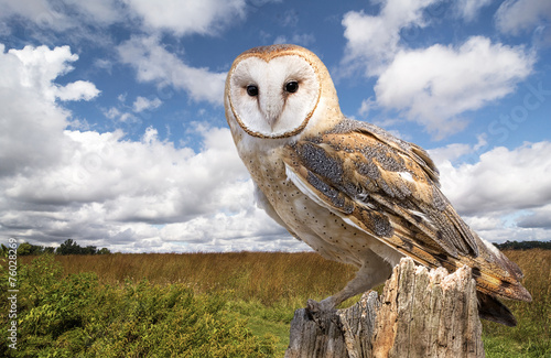 Cadres-photo bureau Chouette Barn Owl