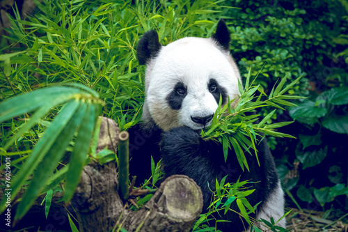 Foto op Canvas Panda Hungry giant panda