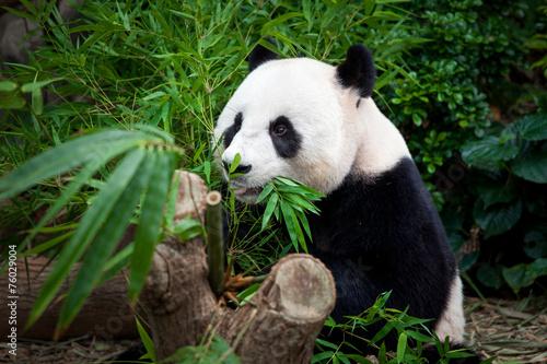 Stickers pour portes Panda Hungry giant panda