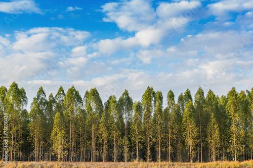 Fotografia, Obraz  Eucalyptus tree