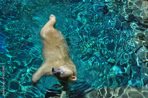 Wild Polar bear swimming in blue water