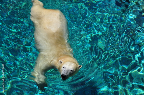 Polar bear swimming in blue water