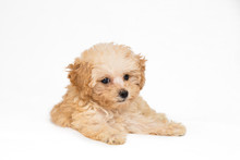 Poodle Puppy In Resting Position