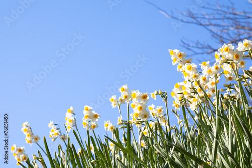 Papiers peints Narcisse 水仙と青空