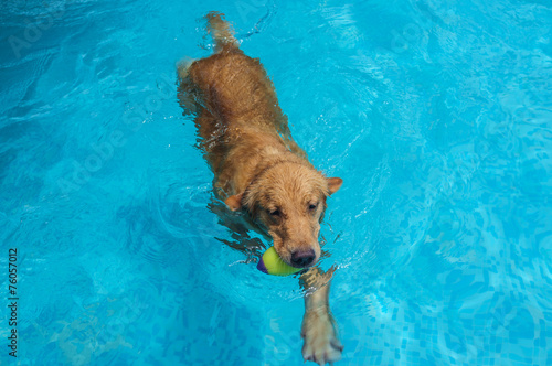 Spoed Foto op Canvas Hond Swimming Golden Retriever