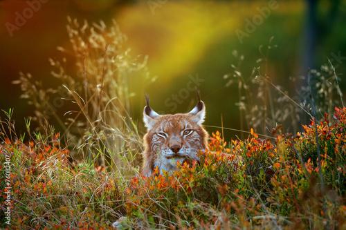 Poster Lynx Eurasian lynx