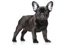 French Bulldog Puppy On A Whit...