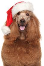 Royal Poodle In Santa Red Hat