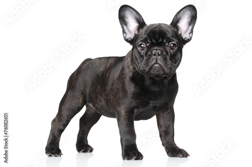 French bulldog puppy on a white background Canvas Print