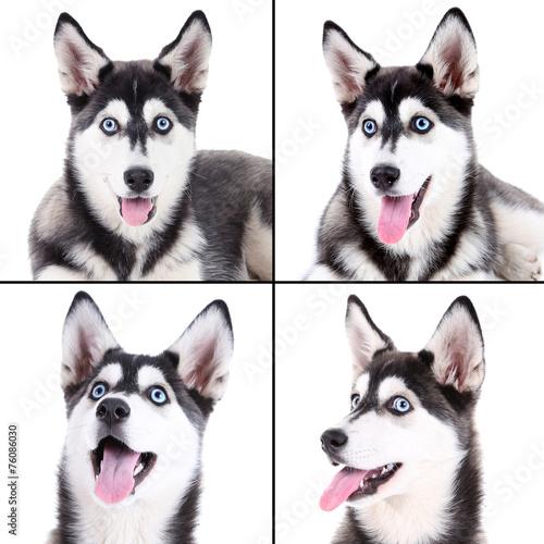 Tuinposter Franse bulldog Husky portraits collage