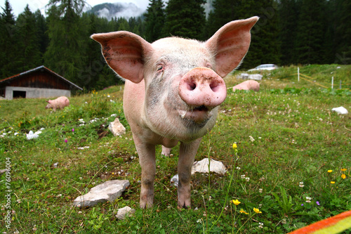 Fotografie, Obraz  Funny pig