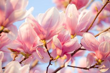 Fototapeta Do salonu Beautiful magnolia blossom