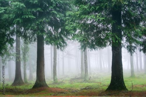Fototapeten Wald cypress forest with fog