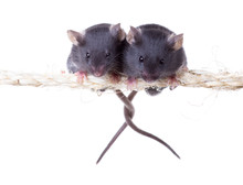 Two Mouse On A Rope With Inter...