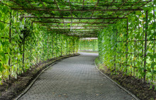 Green Tunnel Of Angled Luffa Plant