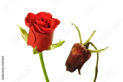 Valokuva  Vergänglich - Als Gegensatz blühende und verblühte rote Rose