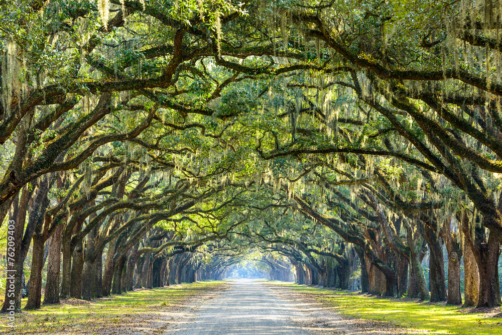Fototapety, obrazy: Country Road Lined with Oaks in Savannah, Georgia