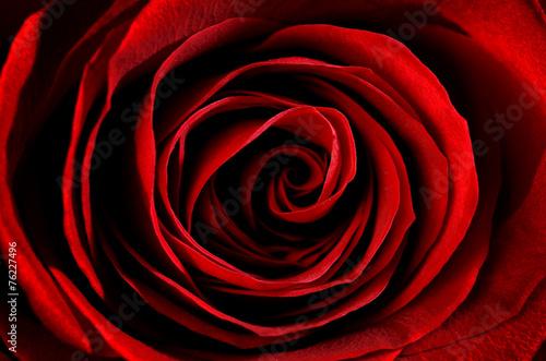 primo piano di una rosa rossa