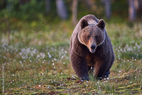 Valokuva  Brown bear frontally