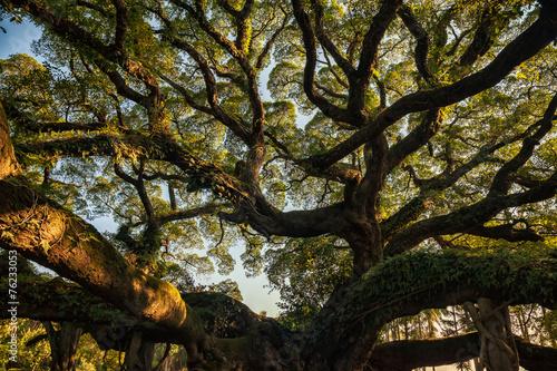 Photo Ancient banyan canopy