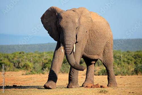 Foto op Aluminium Olifant African elephant, Addo Elephant National Park