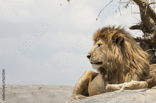 Foto op Plexiglas Leeuw Male lion sitting on a rock facing sideways