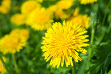 Yellow Dandelion Flowers