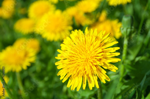In de dag Paardenbloem Yellow dandelion flowers