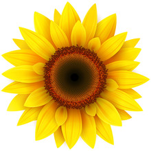 Sunflower, Realistic Vector Il...