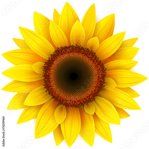 Sunflower, realistic vector illustration. - 76249464
