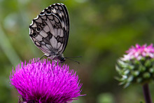Butterfly On The Thistle - Far...