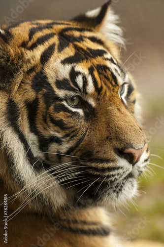 Photo Stands Tiger Portret Sumatraanse tijger