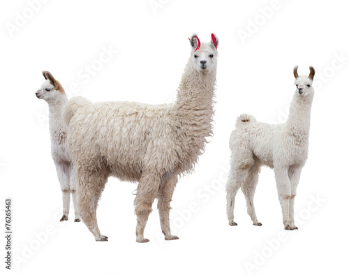 Poster de jardin Lama Female llama with babies