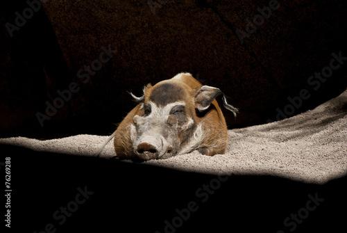 Photo  Pumba
