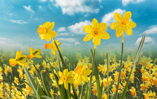 Deurstickers Narcis Daffodils on a Clear Day