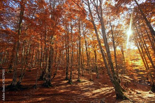 Sole tra gli alberi.... Aceri millecolori © Claudio Quacquarelli