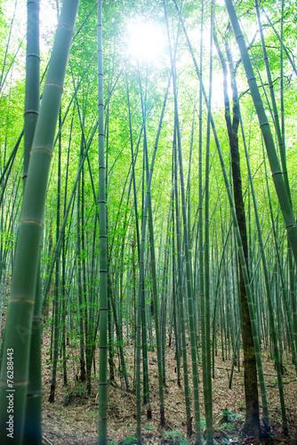 Papiers peints Bambou sunlight through the bamboo grove