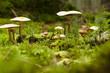 canvas print picture - Pilze auf einem bemoosten Waldboden