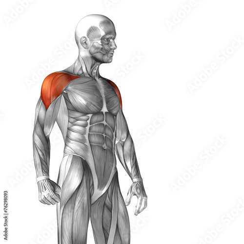 Fotografie, Tablou  Conceptual 3D anatomy muscle isolated