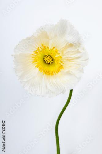 In de dag Madeliefjes poppy flower
