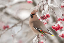 Bohemian Waxwing On A Cold Win...