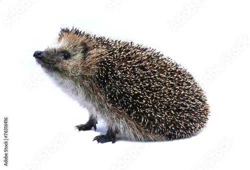 Fotografie, Obraz  Malá lesní ježek ležel na zádech izolované