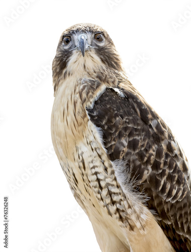 Photo  Red-tailed Hawk Isolated