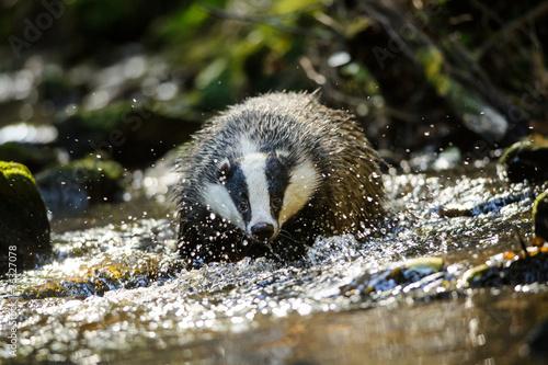 Foto European badger
