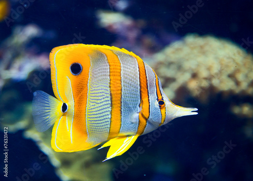 fototapeta na drzwi i meble Butterflyfish Copperbanded