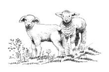 Two Lambs On The Field Sketch
