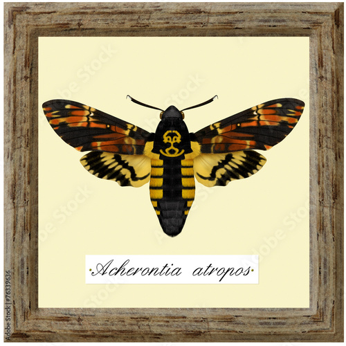 ecological collection, acherontua atropos Canvas Print