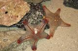 Fototapeta Do akwarium - Rozgwiazdy